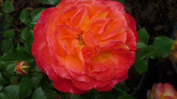 Rose, Flower, Red Orange, Blossom, Bloom, Popular