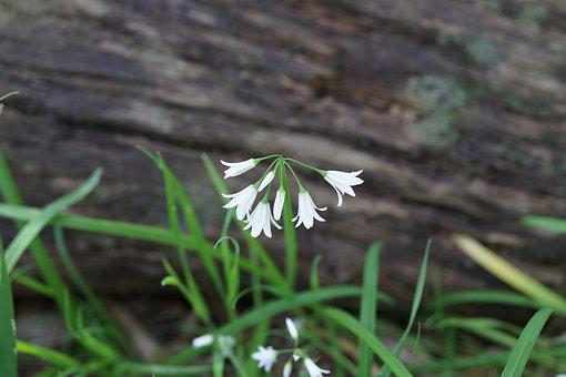 Bell Flower, White, South Australian, Spring, Blossom