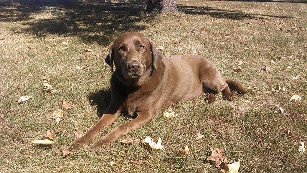 Chocolate Lab, Brown Lab, Labrador, Dog, Brown Dog