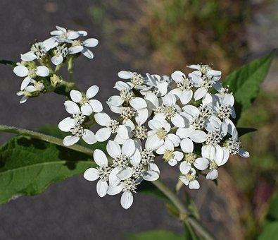 Tall Boneset, Flower, Close-up, Wildflower, Blossom