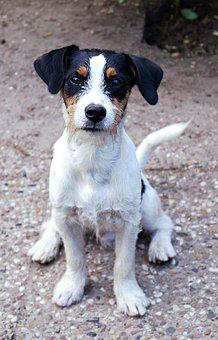 Dog, Jack Russell Terrier, Terrier, Jack Russell, Race