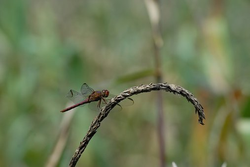 Dragonfly, Ear Of Corn, Flying