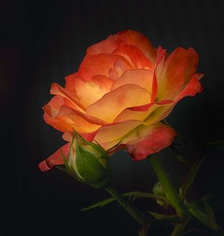 Rose, Petals, Red, Orange, Flame, Flower, Fiery, Close