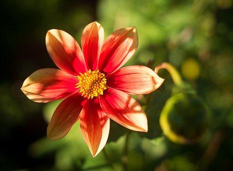 Dahlia, Red, Red Dahlia, Flower, Blossom, Bloom, Yellow