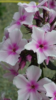 Phlox, Flower, White, Flowers, Bush, Garden