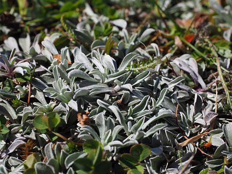Leaves, Silvery, White, Whitish, Hairy, Fluffy