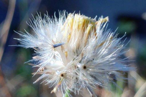 Flying Seeds, Reed, Meadow, White Flower, Seeds, Macro