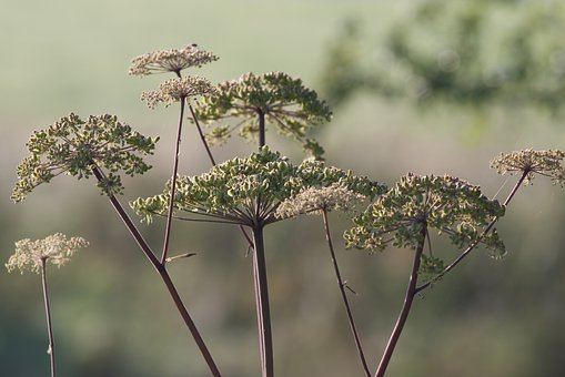 Alexanders, British Countryside, Foliage, Hedgerows