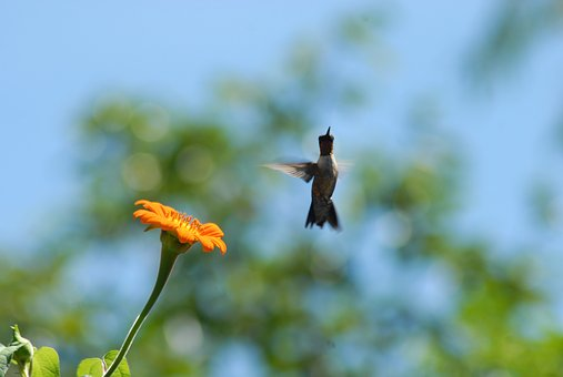 Hummingbird, Flower Alcahuale, Flying