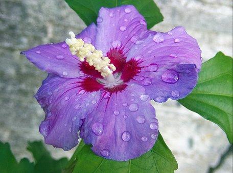 Hibiscus, Marshmallow, Mallow, Flower, Blossom, Bloom