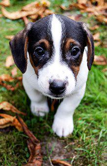 Puppy, Dog, Cute, Small Dog, Pet, Animal Portrait