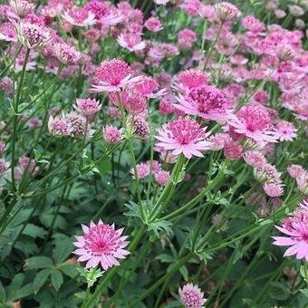 Astrantia, Pink Flower, Flower, Green, Nature, Plant