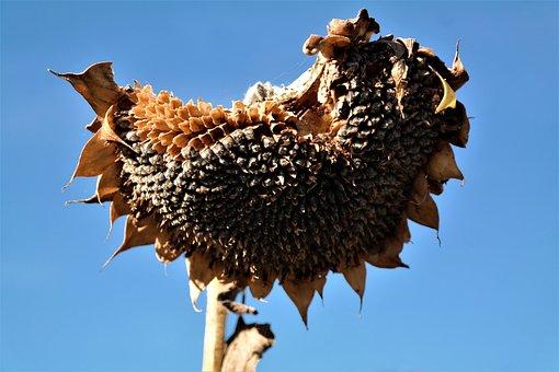 Sun Flower, Flowers Able, Sunflower Seeds, Composites