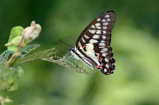 Cai Long Yu, Taiwan, Green-spotted Swallowtail