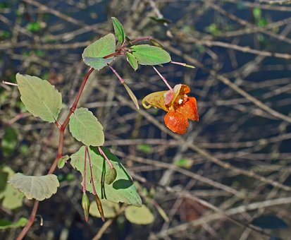 Orange Jewelweed, Touch-me-not, Impatiens, Wildflower