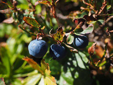 Blueberries, Ripe, Blue, Vaccinium Heather Plant