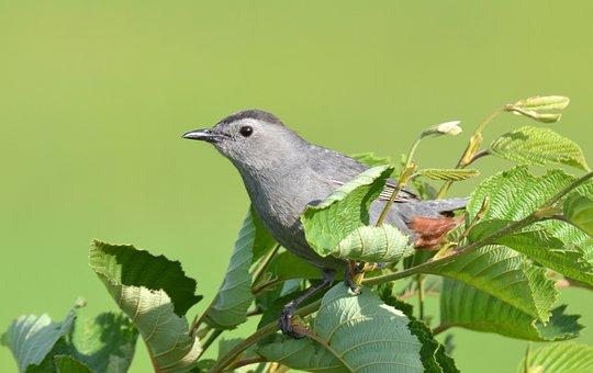 Animal, Bird, Gray, Catbird, Nature, Wild, Ornithology