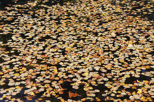 The Leaves In The Water, Autumn, Fall, Yellow