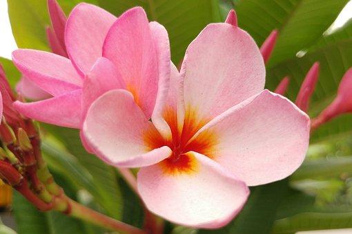 Plumeria, Frangipani, Pink Petal, Bali, Flower, Blossom