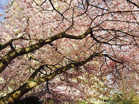 Blossoms, Tree, Vancouver, Spring, Nature, Bloom