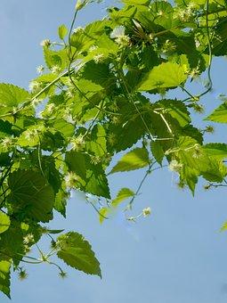 Hops, Beer, Umbel, Brew, Hopfendolde, Hops Fruits