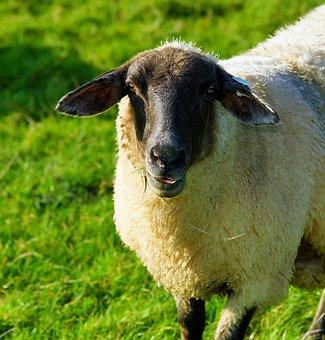 Sheep, Dike, Grass, Late Autumn, Wool, Peaceful