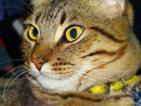 Cat, Tabby, Yellow Eyes, Portrait, Pet, Feline, Animal