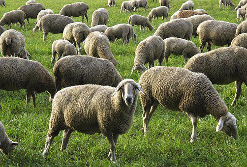 Sheep, Flock, Flock Of Sheep, Domestic Sheep, Animals