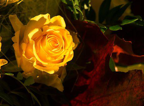 Rose, Yellow, Yellow Roses, Flower, Rose Blooms