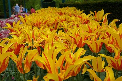 Yellow Tulips, Flowers, Keukenhof