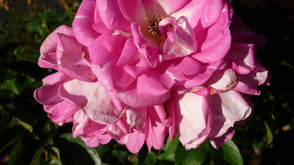 Rose, Flower, Blossom, Bloom, Pink, Garden, Late Summer