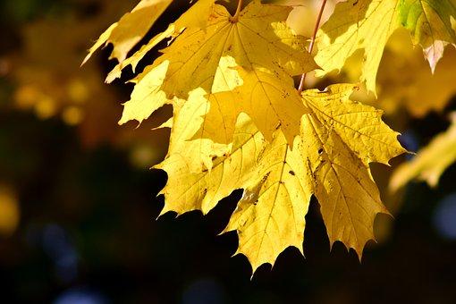 Leaves, Autumn, Fall Foliage, Golden Autumn, Nature