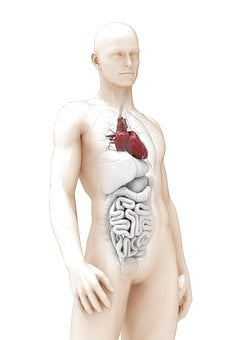 Man, The Anatomy Of A, Heart, 3d Model, Organ, Thick