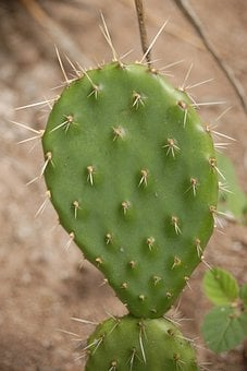 Cactus, Thorns, Nature