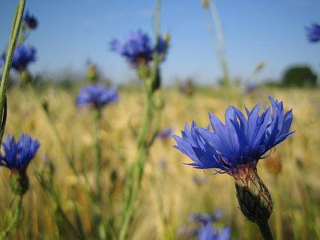 Flowers, Cornflowers, Blue, Nature, Late Summer, Close