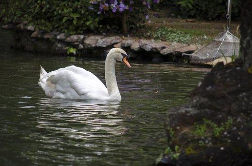 Swan, Water, Bird, Nature, Swans, Wild Birds, Swann