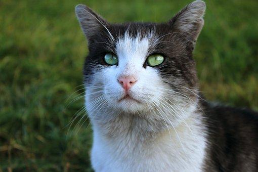 Cat, Snout, Gray Cat, Pets, Pet, Cat Looking, Eyes