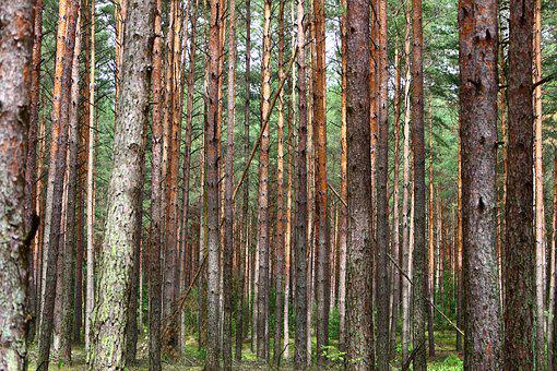 Forest, Pine, Trees, Needles, Spruce, Tree, Summer