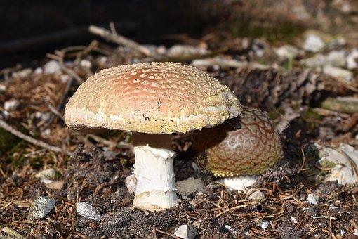 Fungus, Amanita Muscaria, Amanitas, Mushrooms, Poison