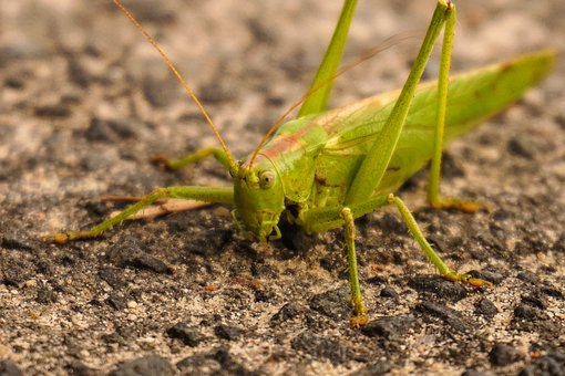 Grasshopper, Green, Close, Insect, Nature, Small, Road