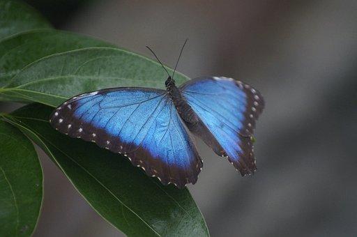 Butterfly, Sky Butterfly, Large Butterfly