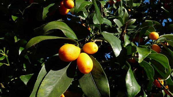 Kumquat, Citrus, Tree
