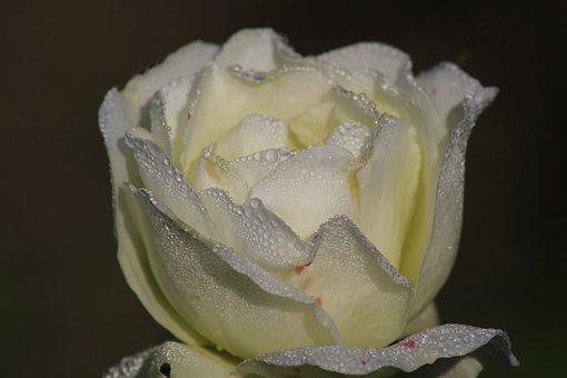 Rose, Fragrance, Water, Dew, Rose Bloom, Romantic