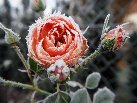 Rose, Frost, Winter, Nature, Frozen, Cold, Plant
