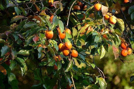Persimmon, Autumn, Wood, Fruit, In Autumn