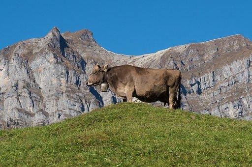 Mountains, Alpine, Cow, Canton Of Glarus, Switzerland