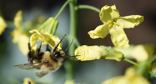 Bee, Bumblebee Flower, Yellow, Pollen, Broccoli Flowers