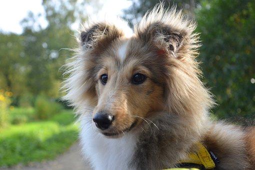 Dog, Bitch Shetland Sheepdog, Pup