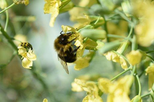 Bee, Insect, Flower, Pollen, Broccoli, Bumblebee