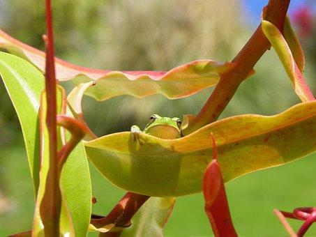 Tenerife, Frog, Canary Islands, Amphibians